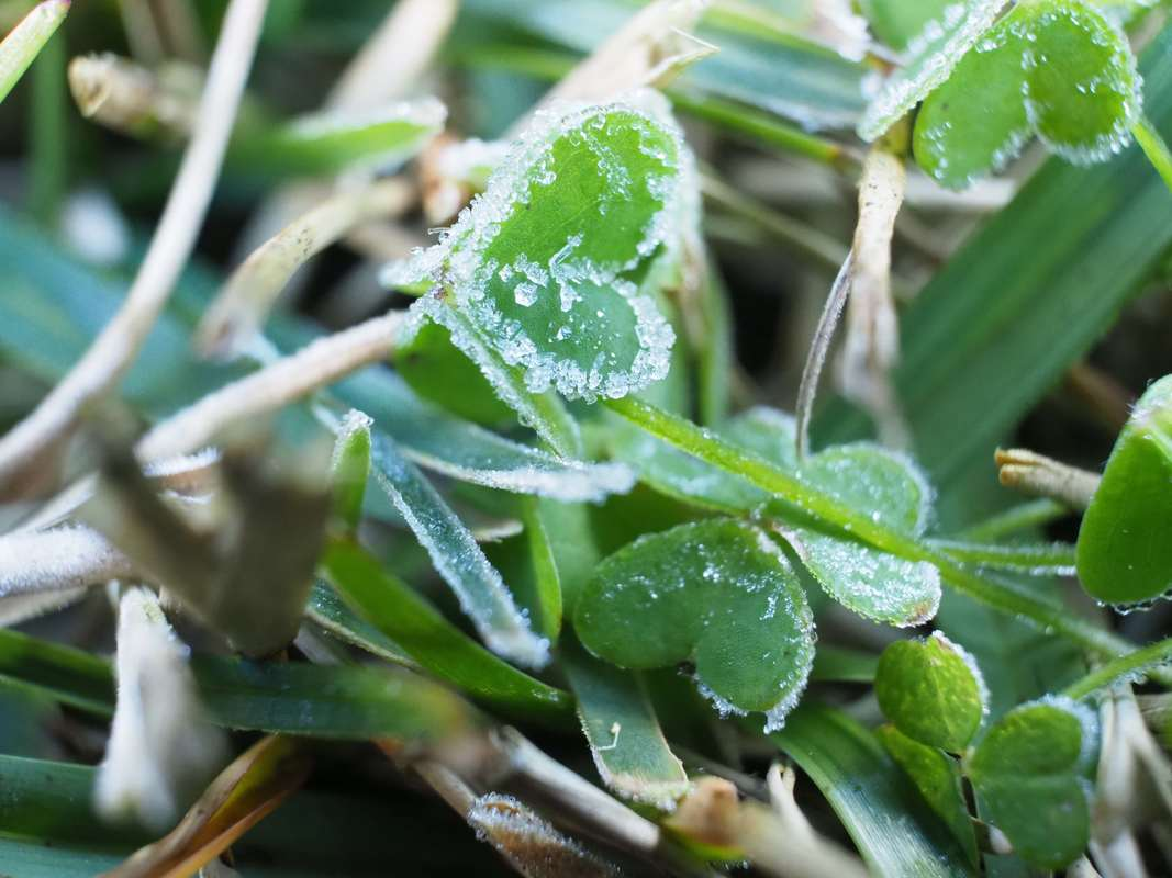 The morning frost. Tiny icicles on the lawn and plants. Close up / macro.