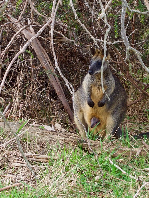 Wallaby with joey in her pouch, The Briars, Mount Martha, Australia