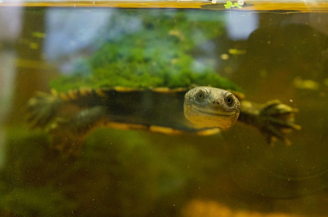 Turtle in the visitor centre, The Briars, Mount Martha, Victoria, Australia