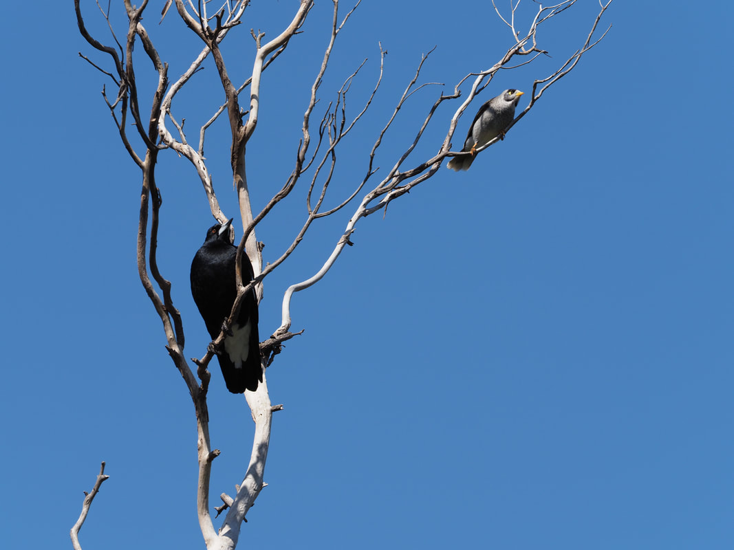 Magpie and Noisy Myna Bird in a dead tree. Victoria, Australia.