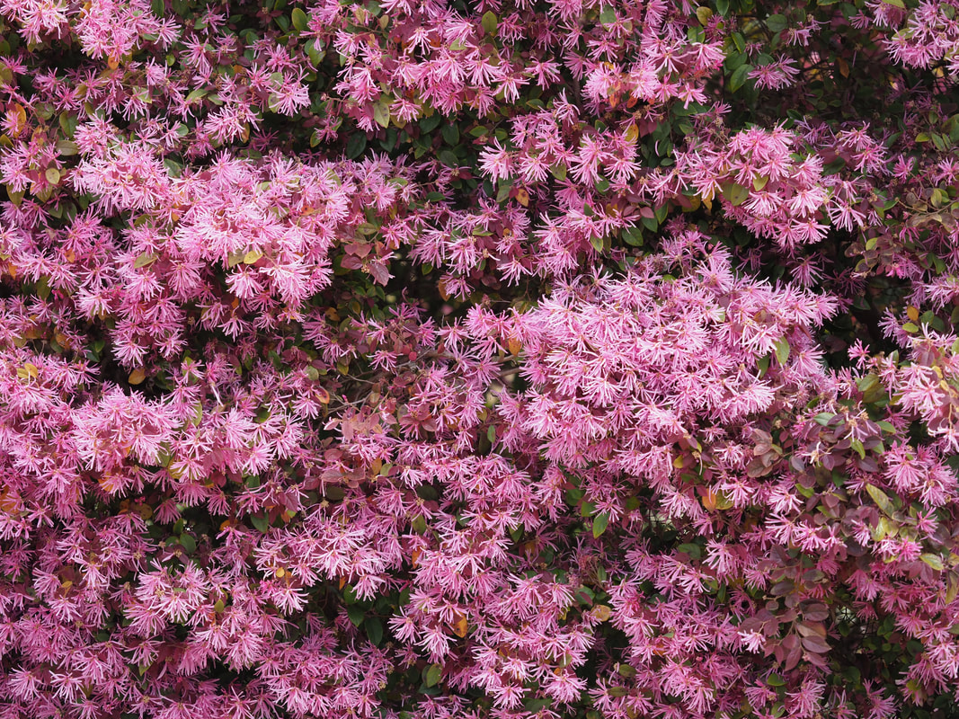 Loropetalum, Chinese Fringe Flower, Spring Flowers, Mornington Peninsula, Victoria, Australia. A Hedge bush covered in profuse pink flowers with rectangular petals.