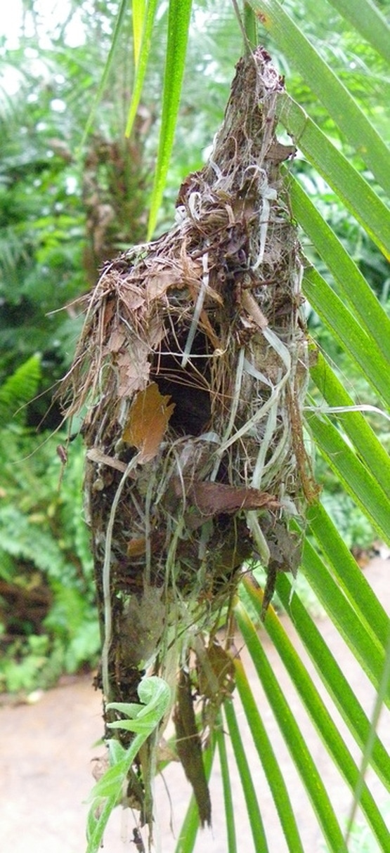 Weaver Bird nest singapore