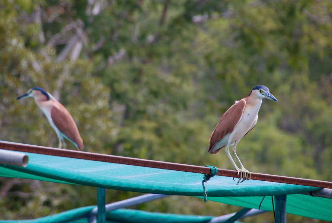 Nankeen night heron, Croc Farm, Hartley's Crocodile Adventures, Queensland, Australia