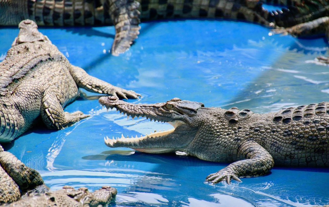 Salt Water Crocodiles, Croc Farm, Hartley's Crocodile Adventures, Queensland, Australia