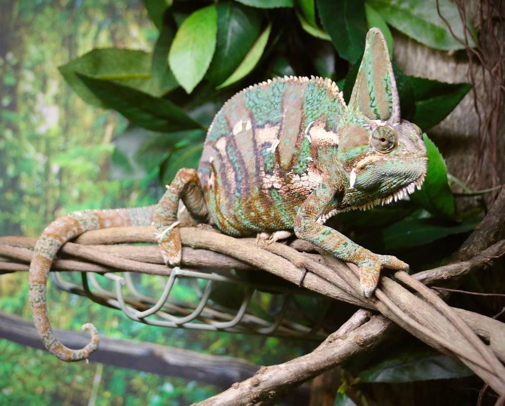 Chameleon, Night Herons, Croc Farm, Hartley's Crocodile Adventures, Queensland, Australia