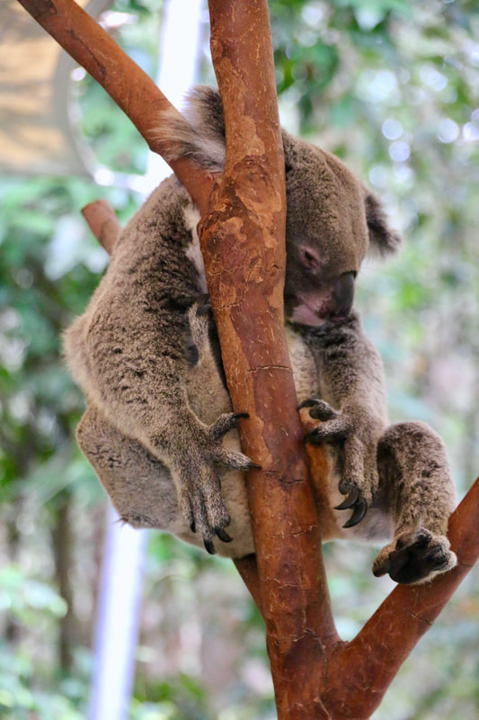 Koala, Wildlife Park, Hartley's Crocodile Adventures, Queensland, Australia