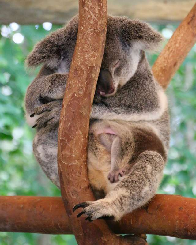 Koala with joey in her pouch, Wildlife Park, Hartley's Crocodile Adventures, Queensland, Australia